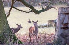 Deux jeunes cerfs communs en parc à Londres Images libres de droits