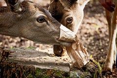 Deux jeunes cerfs communs rouges mangeant des graines d'un sac de papier Images libres de droits