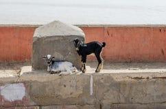 Deux jeunes chèvres, pose noire et blanche et position devant le mur en béton et la mer à St Louis, Sénégal, Afrique Photo libre de droits