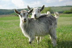 Deux jeunes chèvres sur un pré vert Image stock