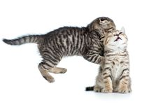 Deux jeunes chatons drôles jouent ensemble Image stock