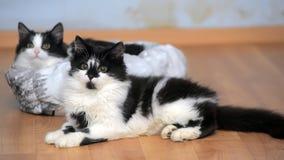 Deux jeunes chats noirs et blancs avec du charme Photographie stock