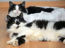 Deux jeunes chats noirs et blancs avec du charme Image stock