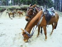 Deux jeunes chevaux affectueux Photos libres de droits