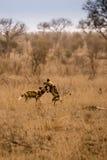 Deux jeunes chiens sauvages africains jouant dans la savane, Kruger, Afrique du Sud photos stock