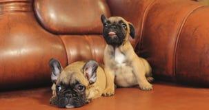 Deux jeunes chiots de chiot de chien de bouledogue français se reposant sur le sofa rouge d'intérieur Bébé drôle de chien clips vidéos