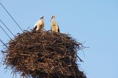 Deux jeunes cigognes blanches dans le nid sur le fond de ciel bleu Image stock