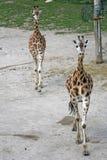 Deux jeunes girafes de marche dans un zoo Image stock