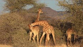 Deux jeunes girafes masculines sont combat vu pour les affections d'une femelle au Botswana clips vidéos