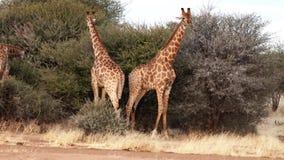 Deux jeunes girafes masculines sont combat vu pour les affections d'une femelle au Botswana banque de vidéos