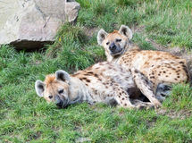 Deux jeunes hyènes somnolentes Photos stock
