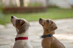 Deux jeunes Jack Russell Terrier recherchant dehors images stock