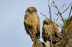 Deux jeunes jeunes hiboux établissant le contact visuel direct à partir de leur nid Photo stock