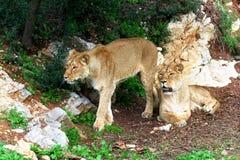 Deux jeunes lionnes dans un secteur rocheux Images stock