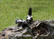 Deux jeunes mouffettes sur un rondin Photo libre de droits