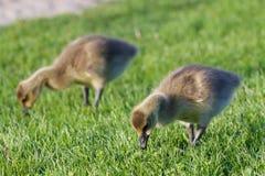 Deux jeunes oies caquetantes Image stock
