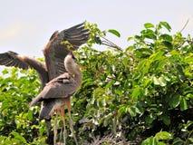 Deux jeunes oiseaux de héron de grand bleu dans le marécage Photographie stock