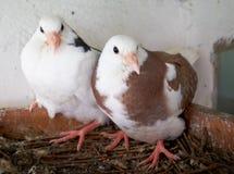 Deux jeunes pigeons Images stock
