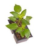 Deux jeunes plantes des usines douces de paprika photo stock