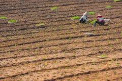 Deux jeunes plantes vietnamiennes de piqûre de femmes Photographie stock libre de droits