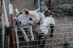 Deux jeunes porcs roses sales, 1 position sur les jambes de derrière regardant au-dessus de son stylo de fil avec triste traitent Images stock