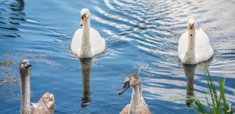 Deux jeunes sceaux avec le cygne de mère photo libre de droits