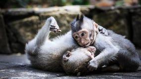 Deux jeunes singes jouant au sol photos stock