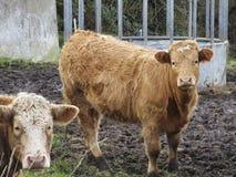 Deux jeunes taureaux photographie stock