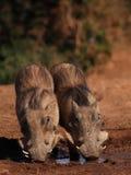 Deux jeunes Warthogs Images libres de droits
