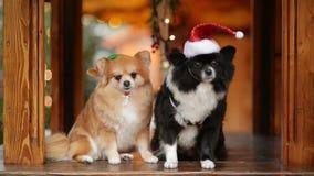 Deux jolis chiens posant ensemble Concept de Joyeux Noël et de bonne année clips vidéos
