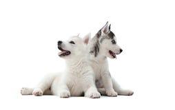 Deux jolis chiots de chien de traîneau sibérien poursuivent la nourriture de attente Images libres de droits