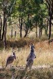 Deux kangourous dans le buisson Image stock