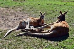 Deux kangourous rouges sauvages d'amour se trouvant sur l'herbe Photos libres de droits