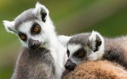 Deux lémurs anneau-coupés la queue (catta de lémur) Images stock