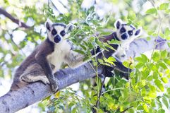 Deux lémurs anneau-coupés la queue par jeunes madagascar Photographie stock libre de droits