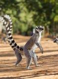 Deux lémurs anneau-coupés la queue se tenant au sol madagascar Images libres de droits