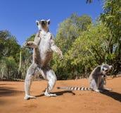 Deux lémurs anneau-coupés la queue se tenant au sol madagascar Image libre de droits