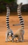 Deux lémurs anneau-coupés la queue se tenant au sol madagascar Photos stock