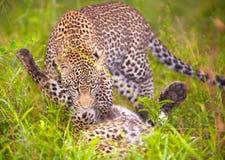 Deux léopards jouant dans la savane Photographie stock libre de droits