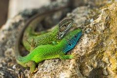 Deux lézards brillants verts verts de geckos sur une roche Image stock