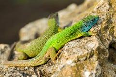 Deux lézards brillants verts verts de geckos sur une roche Photographie stock