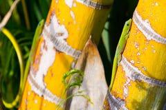 Deux lézards de Gecko photos libres de droits