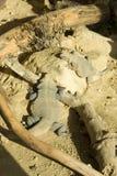 Deux lézards lézardant en soleil.   Photographie stock libre de droits