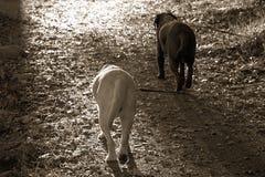 Deux labradors marchant sur le chemin de saleté vers la lumière Images libres de droits