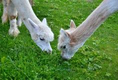 Deux lamas blancs d'alpaga frôlant l'herbe Photos stock