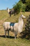 Deux lamas de paquet Images libres de droits