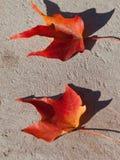 Deux lames d'érable rouge Image stock