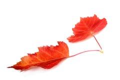 Deux lames d'automne rouges d'isolement sur le blanc Photos libres de droits