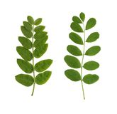 Deux lames vertes Image libre de droits