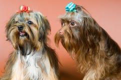 Deux lap-dogs dans le studio photos stock